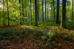 Forêt de soignes, Brussels 2 (gavin.mccrory) Tags: forest nature nikon camera photo trees brussels belgium europe d5100 35mm 105mm dslr photography outside green shrubs plants forests light sunshine reflection rays woodlands