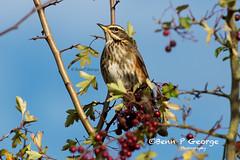 REDWING-25-10-17-RSPB-TITCHWELL-(1) (Benn P George Photography) Tags: rspb titchwell 251017 redwing wildlife birds