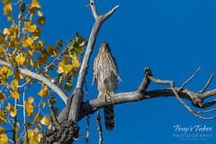 Cooper's Hawk on a fall day
