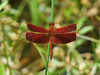 Red Dragonfly - Philippines (Alex Northey) Tags: dragonfly red philippines mindanao insect