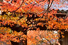 Autumn (Jennifer 真泥佛) Tags: autumn japan kyoto kaede temple 龍安寺 竜安寺 京都 京都市 2016