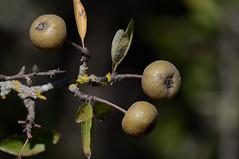 Crap apple species possibly Lefkas Greece (JohnMannPhoto) Tags: crap apple species possibly lefkas greece