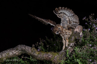 Wild Tawny Owl working his way to the mouse 750_0675.jpg