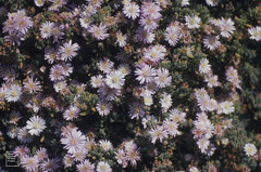 Oscularia deltoides, Hughtown walls. July 1996
