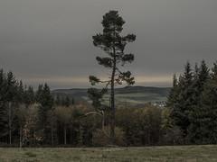 The Splitter (Netsrak) Tags: baum bergheidenweg bäume eifel europa europe heide landschaft natur wald landscape nature woods