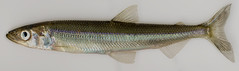 """Male rainbow smelt, anadromous form • <a style=""""font-size:0.8em;"""" href=""""http://www.flickr.com/photos/142691167@N05/38071482606/"""" target=""""_blank"""">View on Flickr</a>"""