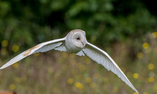 JWL0554  Barn Owl..