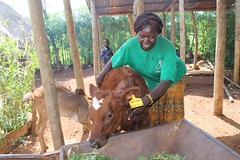 VBDA Priscilla Auma attending to her pure bred, Ayrshire bull calf .When the calf matures, it will  improve the local breeds in Muyeye B village, Busia County, Kenya. (International Livestock Research Institute) Tags: dairying avcd kenya