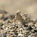 Yarkand toad-headed agama (Phrynocephalus axillaris)