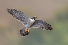 Peregrine Falcon (Photosequence) Tags: falcoperegrinus peregrine falcon raptor birdofprey nj statelinelookout newjersey alpine palisades interstate park muhammad faizan photography tiercel