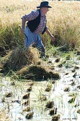 Temps de sega (Enllasez - Enric LLaó) Tags: arroz delta deltadelebre deltadelebro agricola pages 2008 segatradicionaldelarros