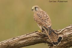 Xoriguer comú, Cernícalo vulgar, Kestrel (Falco tinnunculus) (Carles Pibernat) Tags: