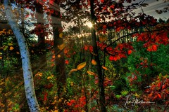 Bright and Early (Tom Mortenson) Tags: forest sunrise early morning wisconsin oneidacounty northwoods midwest dawn sun woods colorful fall autumn color red rays usa america northamerica lightbeams harshawwisconsin canon canon6d canoneos 1740l redoak hdr photomatix tonemapping backlit