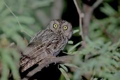 Western-screech Owl (kidbirder) Tags: