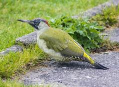 Green Woodpecker (gopper) Tags: birds woodpecker green greenwoodpecker pwllheli gwynedd wales welsh cymru rare amazing lucky nikon d7100 sigma red lleyn lleynpeninsula ngc wild wildlife feathers postcard