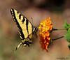 8-10-14 028    Tiger Swallow Tail Butterfly Macro! (KatieKal) Tags: 81014 tigerswallowtailbutterfly lantana orange wings black yellow bokeh canon60d