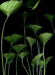 58563.01 Viola odorata (horticultural art) Tags: horticulturalart violaodorata viola violet leaves