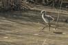 Premiers pas (CycyM) Tags: oiseau plumes ailes étang juvénile échasse blanche eau nature hérault extérieur