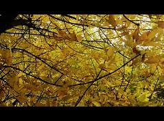 Tree (Anna Gelashvili) Tags: тбилиси дерево tree nutsubidzeplato tbilisi georgia ხე ნუცუბიძისპლატო თბილისი საქართველო ხეები ფოთლები leaf