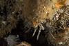 The face of a Golf Ball Crab (Rhinolithodes wosnessenskii) (jonmcclintock) Tags: adventure diving travel britishcolumbia bc canada scuba underwater strongwater