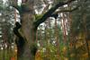 DSC_1492 (FMAG) Tags: kpn roztokawiersze 7dwf flora tree forest wood autumn