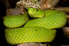 Adult March's Palm Viper (Bothriechis marchi) (edward.evans) Tags: bothriechis marchi bothriechismarchi palmviper marchspalmviper viper snake herp sierradelmerendón merendónmountains merendon merendonmountains honduras cusuco cusuconationalpark operationwallacea opwall cloudforest rainforest wildlife nature centralamerica latinamerica herping herps reptile viperidae crotalinae