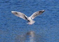 Gull (gillybooze (David)) Tags: ©allrightsreserved bird gull birdwatcher water reflections wings feathers outdoor inflight