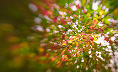 Colorful leaves (Dhina A) Tags: sony a7rii ilce7rm2 a7r2 lensbaby composer pro sweet 50 optic 50mm lensbabycomposerpro f25 bokeh art lens 2elements 1group manual focus emount creative photography blur autumn colorful colors leaves leaf yellow fall