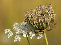 Peaceful coexistence (maria xenou) Tags: nature natur bugs wildeblumen wildekarotte coexistence zusammenleben wildcarrot seedhead circleoflife lebenskreis autumn herbst moments momente photodromos fotodromos details sunlight sonnenlicht umwelt ourworld ourplanet earth wildplants colors farben macro naturephotography ελλαδα φυση αγριοκαροτο insect εντομα λεπτομερειεσ σπορια λουλουδι χρωματα symbiosis symbiose συμβιωση field greece maria xenou φθινοπωρο goats ziegen