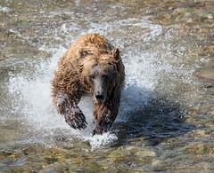 Salmon Run   (Explored) (cheryl strahl) Tags: alaska katmainationalparkandpreserve funnelcreek grizzlybears brownbear sockeyesalmon redsalmon running fishing creek splash explore flickrexplore