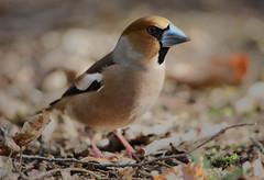 Male Hawfinch (Chris Bainbridge1) Tags: coccothraustescoccothraustes hawfinch feeding amongst hornbeams male