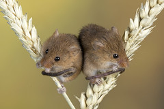 Harvest Mice, CaptiveLight, Ringwood, Hampshire, UK