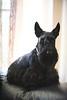 Karma (amirpaz) Tags: portrait black dog animals nikon photography scotish terrier