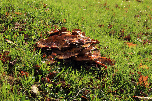 """Hallimasche (Armillaria) (07) • <a style=""""font-size:0.8em;"""" href=""""http://www.flickr.com/photos/69570948@N04/26390680209/"""" target=""""_blank"""">View on Flickr</a>"""
