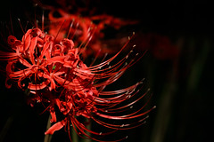 Autumn RED Cluster amaryllis (Colorful-wind) Tags: 2017 autumn color colorful colors fall flower fujifilm fukuoka japan red xt1 秋 花 赤 9月