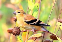 American goldfinch eating stiff sunflower seeds at Decorah Prairie IA 854A5749 (lreis_naturalist) Tags: american goldfinch eating stiff sunflower seeds