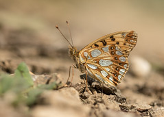 Queen of Spain Fritillary - Issoria lathonia (Gary Faulkner's wildlife photography) Tags: queenofspainfritillary issorialathonia