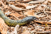 Eastern Tiger Snake (Linda Martin Photography) Tags: australia notechisscutatus tigersnake animals wildlife reptile australianreptilepark nsw coth naturethroughthelens