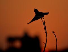 Indian Bushchat-Male (Venugopal Bsnl) Tags: serilingampally owl cuckoo bushchat googleimages venugopalbsnl images imagesvenugopalbsnlgooglebest