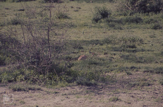 Steinbok. Outline broken by bush. Ndutu. Serengeti