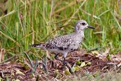 Black-bellied Plover (dbadair) Tags: outdoor seaside shore sea sky water nature wildlife 7dm2 gulf ft desoto bird