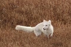 Hunting for Voles (Dan King Alaskan Photography) Tags: arcticfox fox vulpeslagopus tundra northslope alaska canon50d sigma150600mm