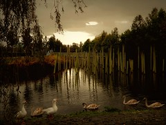 Amsterdam Woods (Clare-White) Tags: woods swans water lake trees atmosphere reflections sticks sky amstedam amsterdam aawchallengegroup geese light shade nikon coolpix