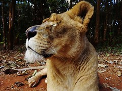 """Bella the Lioness • <a style=""""font-size:0.8em;"""" href=""""http://www.flickr.com/photos/152934089@N02/36904212824/"""" target=""""_blank"""">View on Flickr</a>"""