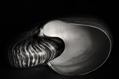Nautilus shell - lines! (Ageeth van Geest) Tags: 7dwf smileonsaturday organic stripes lines schelp monochrome blackandwhite bw nautilusshell linesandstripes
