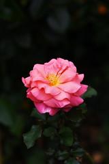 DSC_8566 (PeaTJay) Tags: nikond750 sigma reading lowerearley berkshire macro micro closeups gardens outdoors nature flora fauna plants flowers rose roses rosebuds