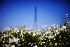 * (t*tomorrow) Tags: canon eos 5d2 50mm sigma50mmf14 鉄塔 コスモス flower 滋賀