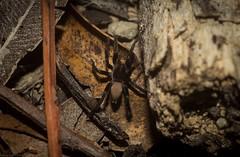 young Miturgid (dustaway) Tags: arthropoda arachnida araneae araneomorphae miturgidae genus australianspiders nature spinne araignee groundspiders canungra sequeensland queensland australia
