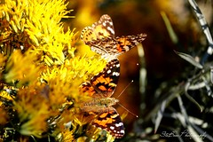 Painted Lady Butterflies (SteBow Photography) Tags: canon80d canon eos 80d butterflies butterfly paintedlady paintedladybutterflies