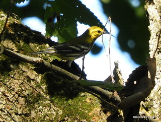 Black-throated Green Warbler_N5537